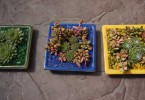 three colorful succulent container gardens 145x100